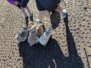 大久野島のウサギさん達